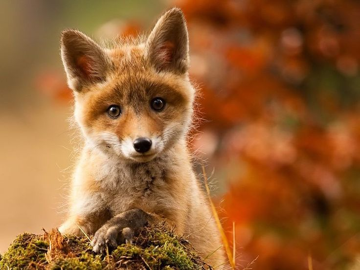 Whether this sweet Fratz is the most photogenic fox in the world?