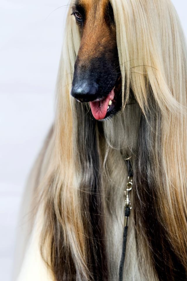 Afghan Hound ♥ Loved and pinned by Noah's Ark Mobile Vet Service | 250-212-5069 | Kelowna #pets