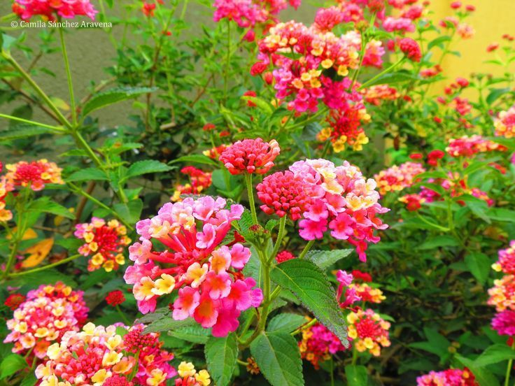 Lantana rosada y amarilla - Pink and yellow Lantana
