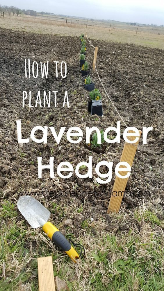 How to plant a lavender hedge for a garden windbreak - this is a simple idea that is both functional and beautiful! | PreparednessMama