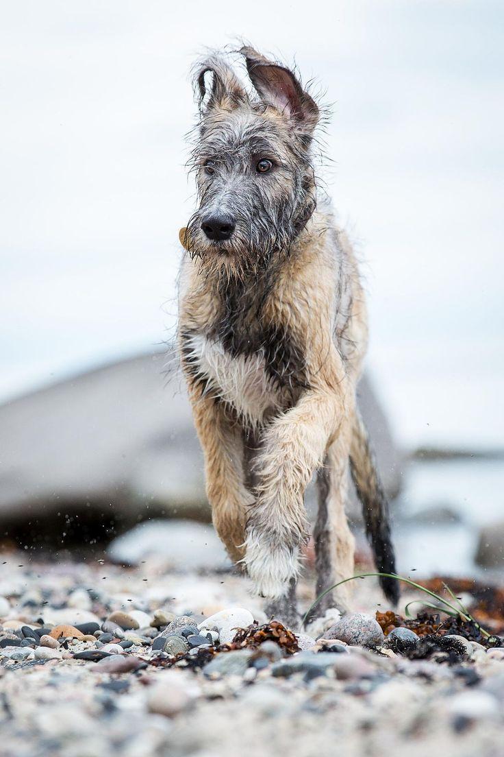 Irish wolfhound, 16 weeks.
