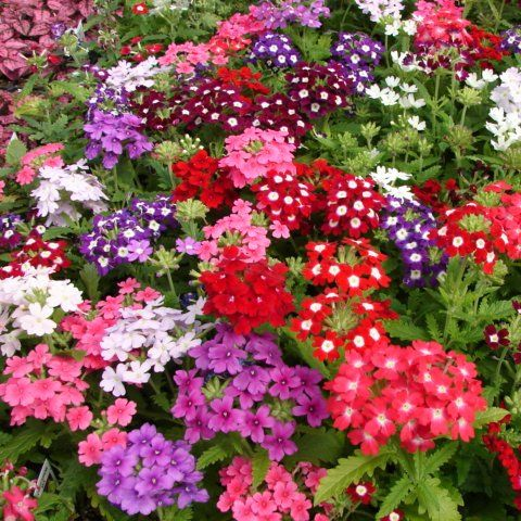 Annuals | Schmidt Brothers, Inc. (a) 806 Annuals: Verbena - Obsession Mix