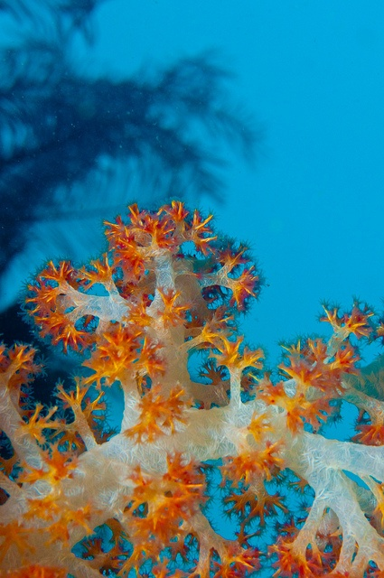 Dendronephthya suensoni - soft coral by Okinawa Nature Photo