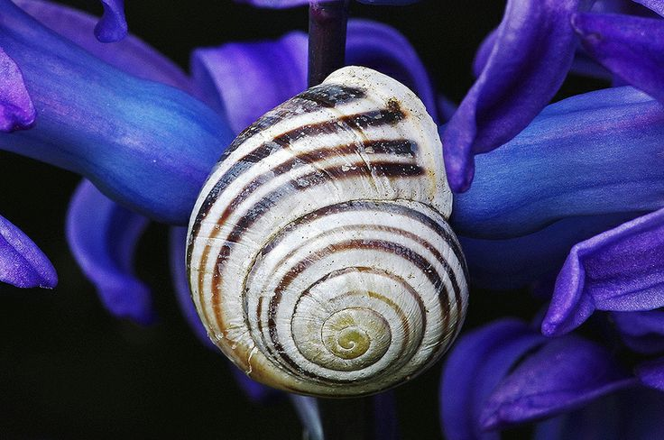 Banded Snail on Hyacinth.