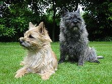 I think this is the same breed as me pup, I adopted her so I'm not sure, carian terrier :)