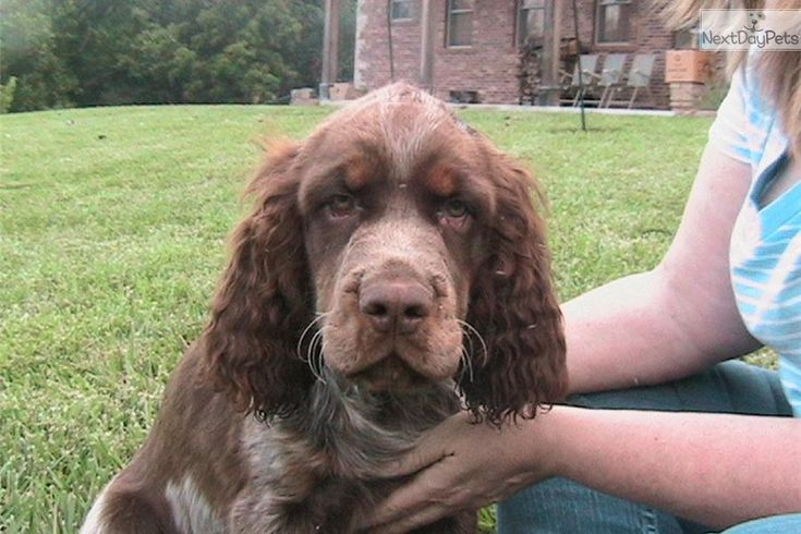 Meet DJ a cute English Springer Spaniel puppy for sale for $400. DJ,LIVER & WHITE TRI-COLOR, ROAN, TICKED