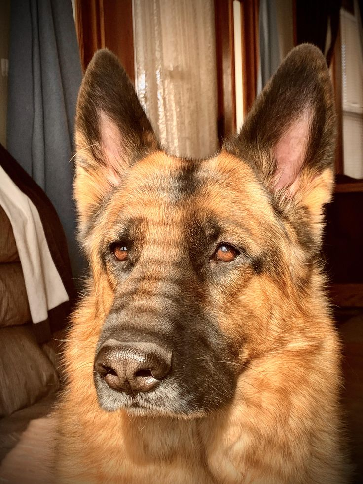 44 german shepherd mix breed reviews vizsla puppies