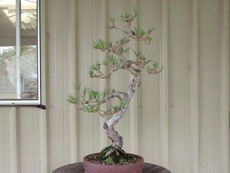 Literati black pine bonsai pinterest black and pine for Literati bonsai gallery