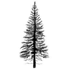 douglas fir tree drawing - Google Search