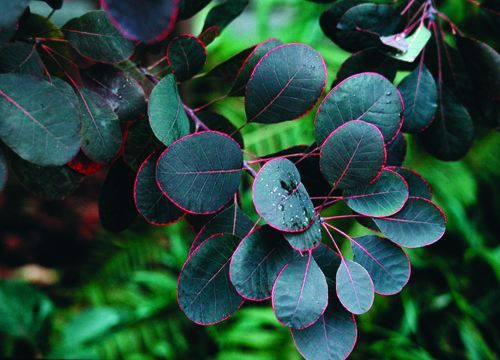 Cottinus coggygria 'Royal Purple' Purple smokebush