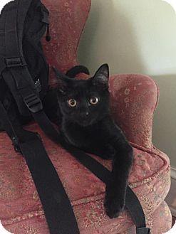 Philadelphia, PA - Domestic Shorthair. Meet Janet, a kitten for adoption…