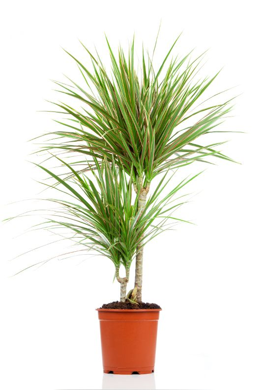 top 15 ideas about plants for micro environment on pinterest dracaena plant madagascar and. Black Bedroom Furniture Sets. Home Design Ideas