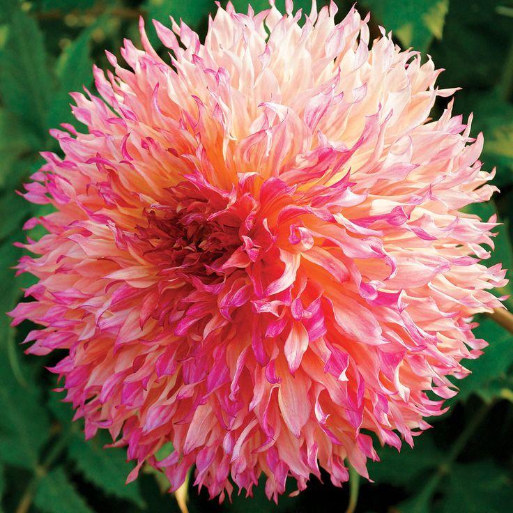 65 best Dahlias I Want images on Pinterest Dahlia flowers