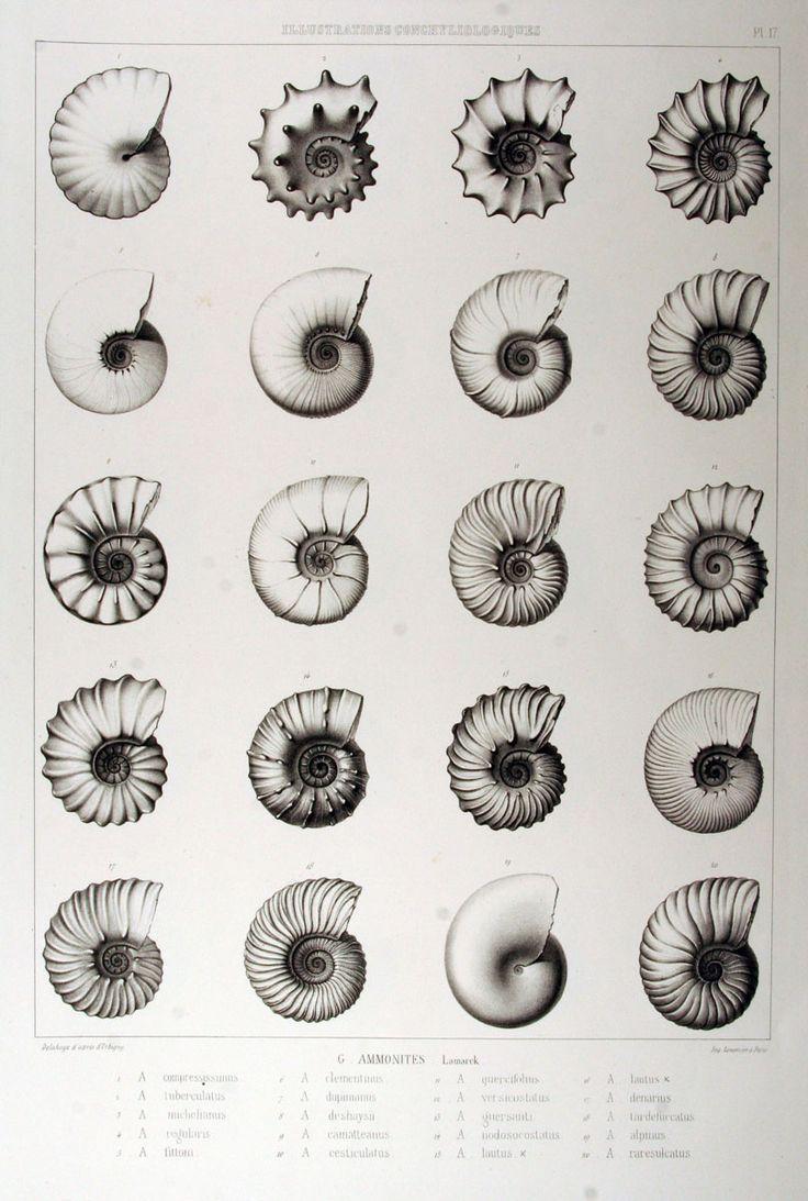 Illustrations conchyliologiques ou description et figures de toutes les coquilles connues vivantes et fossiles, classées suivant le système ...