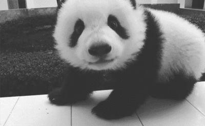Endangered Panda Information Animals Giff #51 - Funny Panda Giffs| Funny Giffs| Panda Giffs
