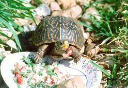 Box Turtle diet sheet