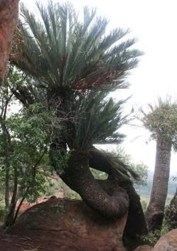 Encephalartos Middelburgensis Middellburg Cycad Middelburgbroodboom S A no 14,3