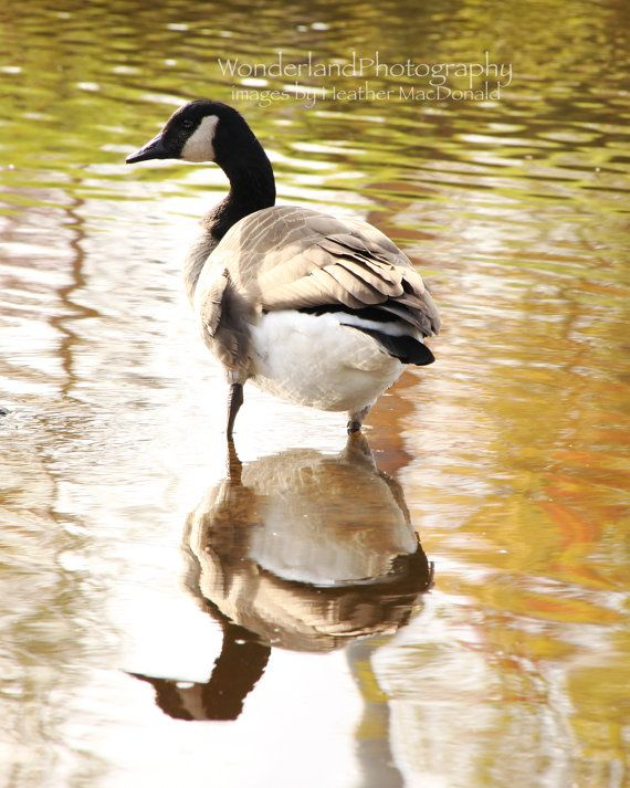 Canadian Goose / Reflection Photograph 8x10 by ImagesbyHeatherMac
