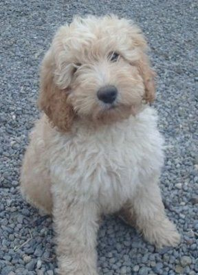 Mini Australian Labradoodle Rescue | Labradoodles come in three sizes: miniature, medium, and standard ...