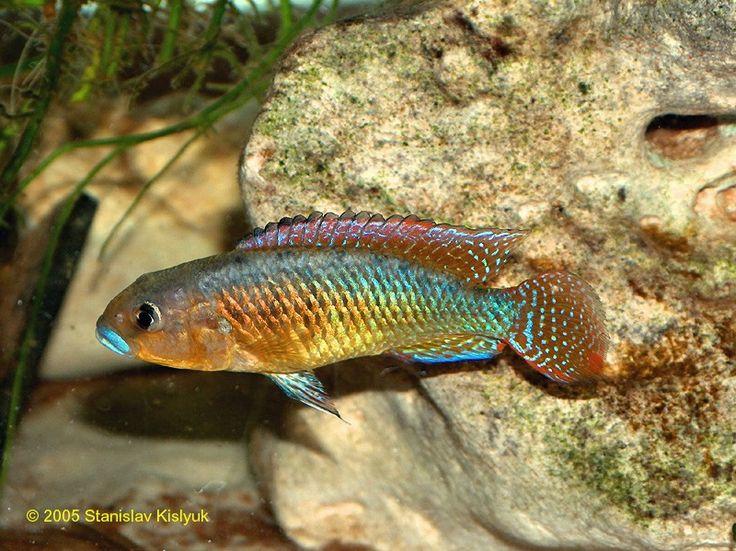 1000 Images About Freshwater Aquariums Freshwater Fish