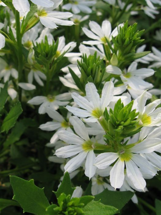 ~Fan Flower 'Whirlwind White' Scaevola