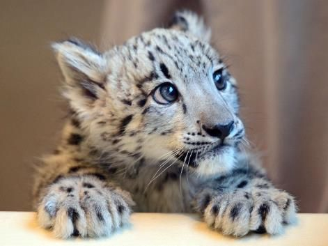 An 11-week-old blue-eyed snow leopard cub called Jackson ...