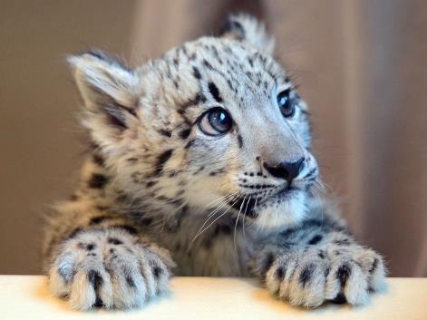 An 11-week-old blue-eyed snow leopard cub called Jackson ...