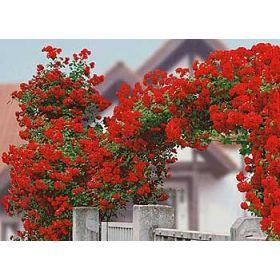 Stunning Delbard Kletter Rose Dune Pflanze Kletterrose Kletter Star g nstig online kaufen MEIN SCH NER GARTEN