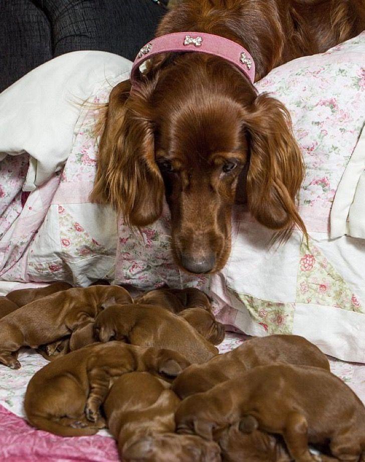 Poppy, una setter irlandes, dio la sorpresa de su vida a sus dueños cuando terminó de dar a luz.