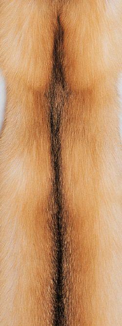 Golden Island Fox