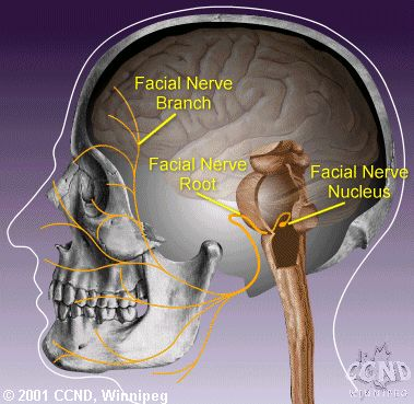 The facial nerve is the seventh of twelve pairs of cranial nerves located on either side of the head.