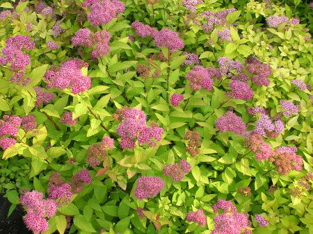 How to Prune a Gold Flame Spirea