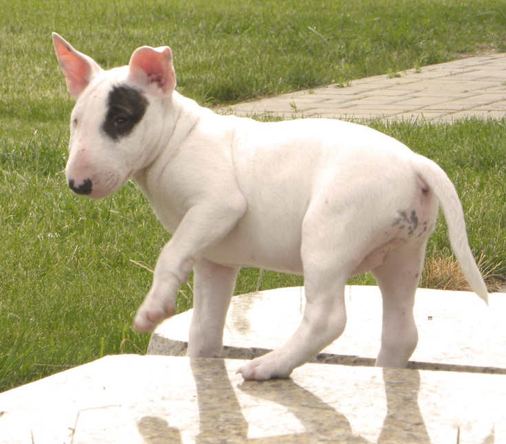 bull terrier hypoallergenic 17 best images about miniature bull terrier on pinterest 7512