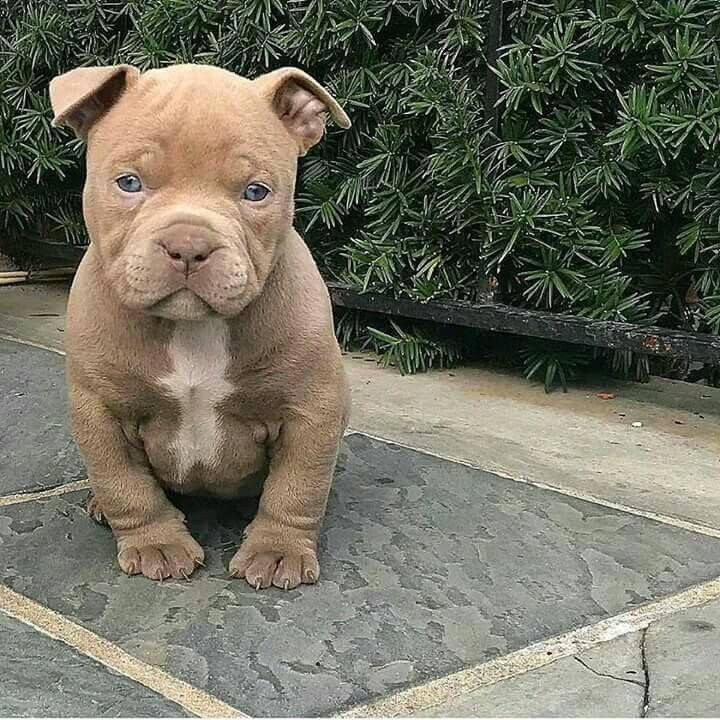 This Pitbull Pup Is A Poser Aww Too Cute Do You Love