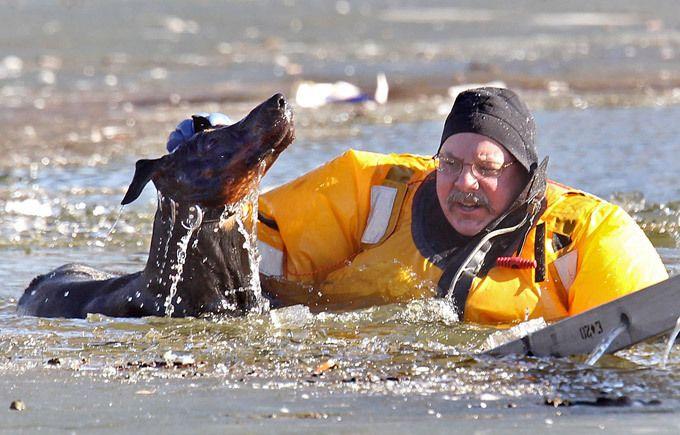 Сам пропадай, а друга выручай! Во время этого увлекательного процесса он выбежал на лед и провалился в воду! Сент-Луис, доберман-пинчер Диабло, спасение, озеро, лед, зима