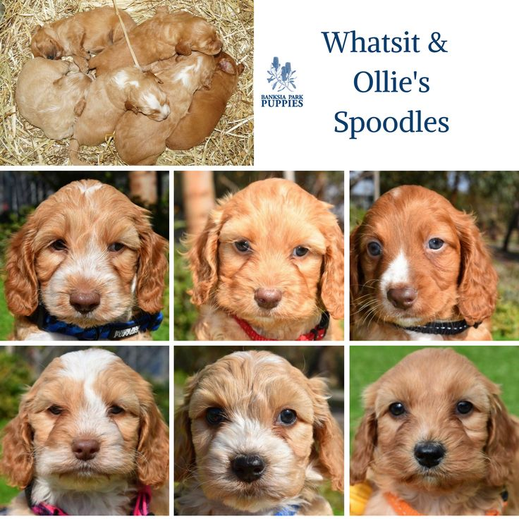 What a stunning mix of Spoodles!! 😍🐶