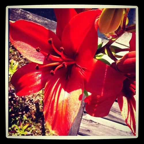 Red lily #flower #plant #red #yellow #intercer