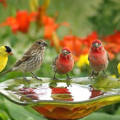 Finches gathered for a drink