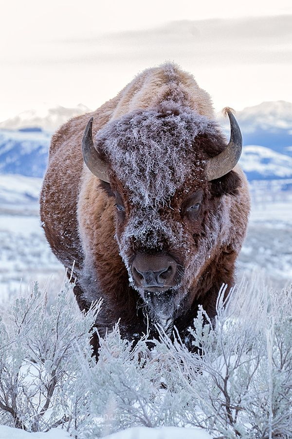 Bison by Hisham Atallah on 500px