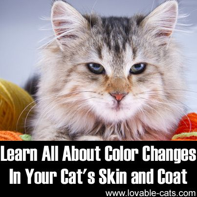 Learn All About Color Changes in Your Cat's Skin and Coat►►http://lovable-cats.com/learn-all-about-color-changes-in-your-cats-skin-or-coat/?i=p