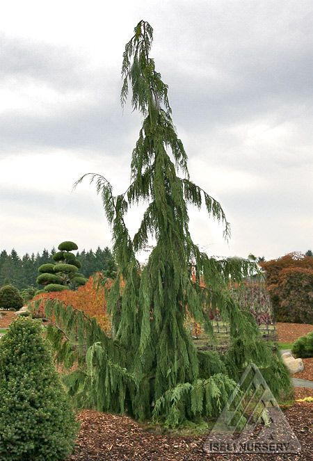 Chamaecyparis nootkatensis 'Pendula' (weeping Alaskan cedar) --- a wonderfully architectural and hardy  evergreen.