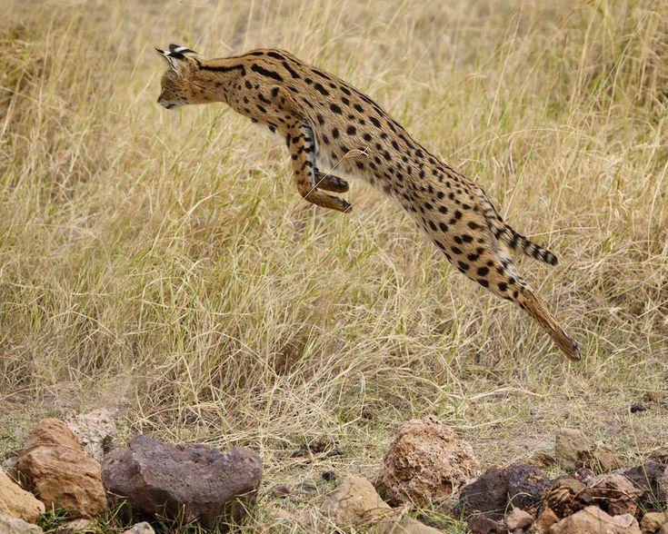 Serval | Le serval est un carnassier