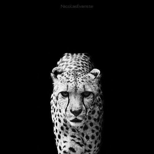 Dark Zoo - Acinonyx Jubatus  by Nicolas Evariste
