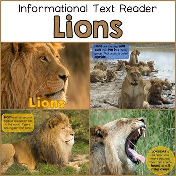 Lions Informational Text Reader by The Pinning Librarian | Teachers Pay Teachers
