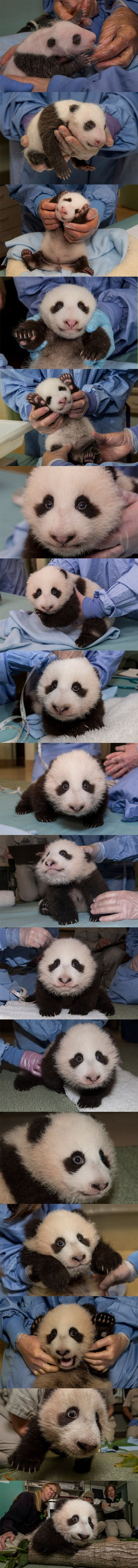 Photo collage of #PandaCub Xiao Liwu's growth from exams 1-17.