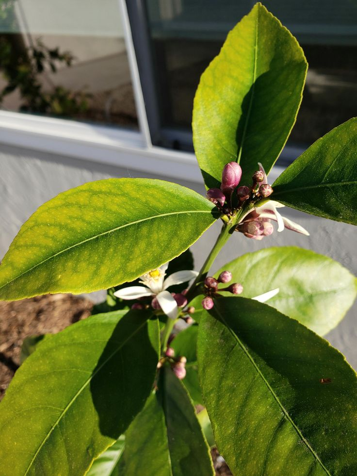 Is This Iron Deficiency In My Meyer Lemon Tree I Applied A 10 5 5 Citrus Fertilizer With 2 Iron Today But I Want To Meyer Lemon Tree Lemon Tree Citrus Trees