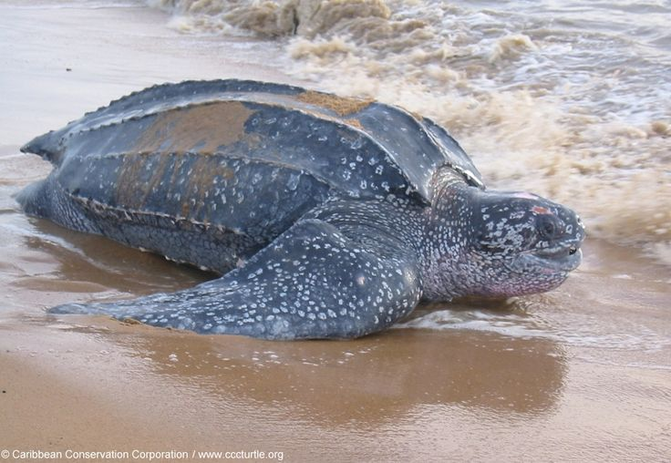 The Amazing Leatherback Turtle That Swims Over 10,000 Miles Every Year