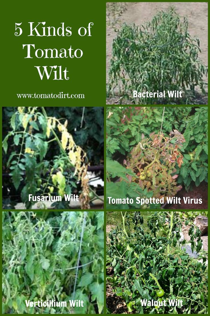 Compare 5 kinds of tomato wilt so you can identify and treat problems on your tomato plants