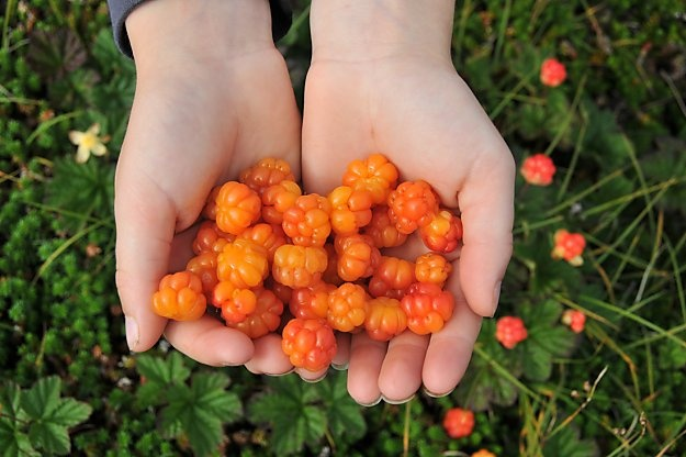 Bakeapples as they are known in New Foundland are also known as cloudberries (Rubus chamaemorus) and are commonly made into pies and jams. #BakeApple #Cloudberry