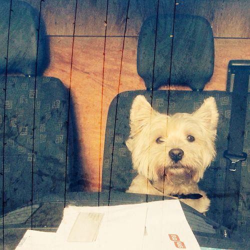 Dog in a van